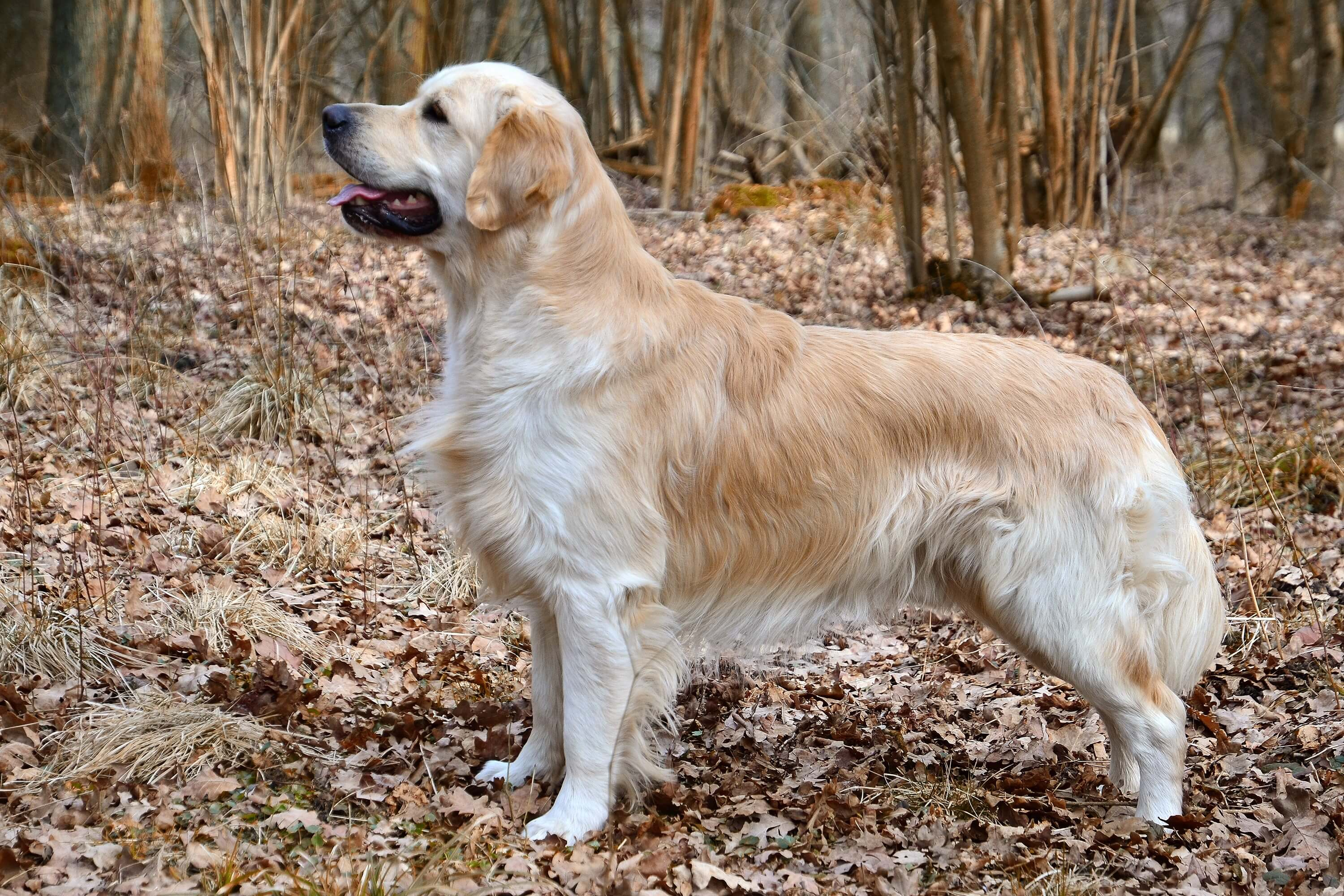 Image décrivant la race Golden retriever